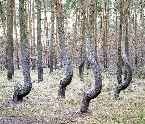 Crooked Forest 03
