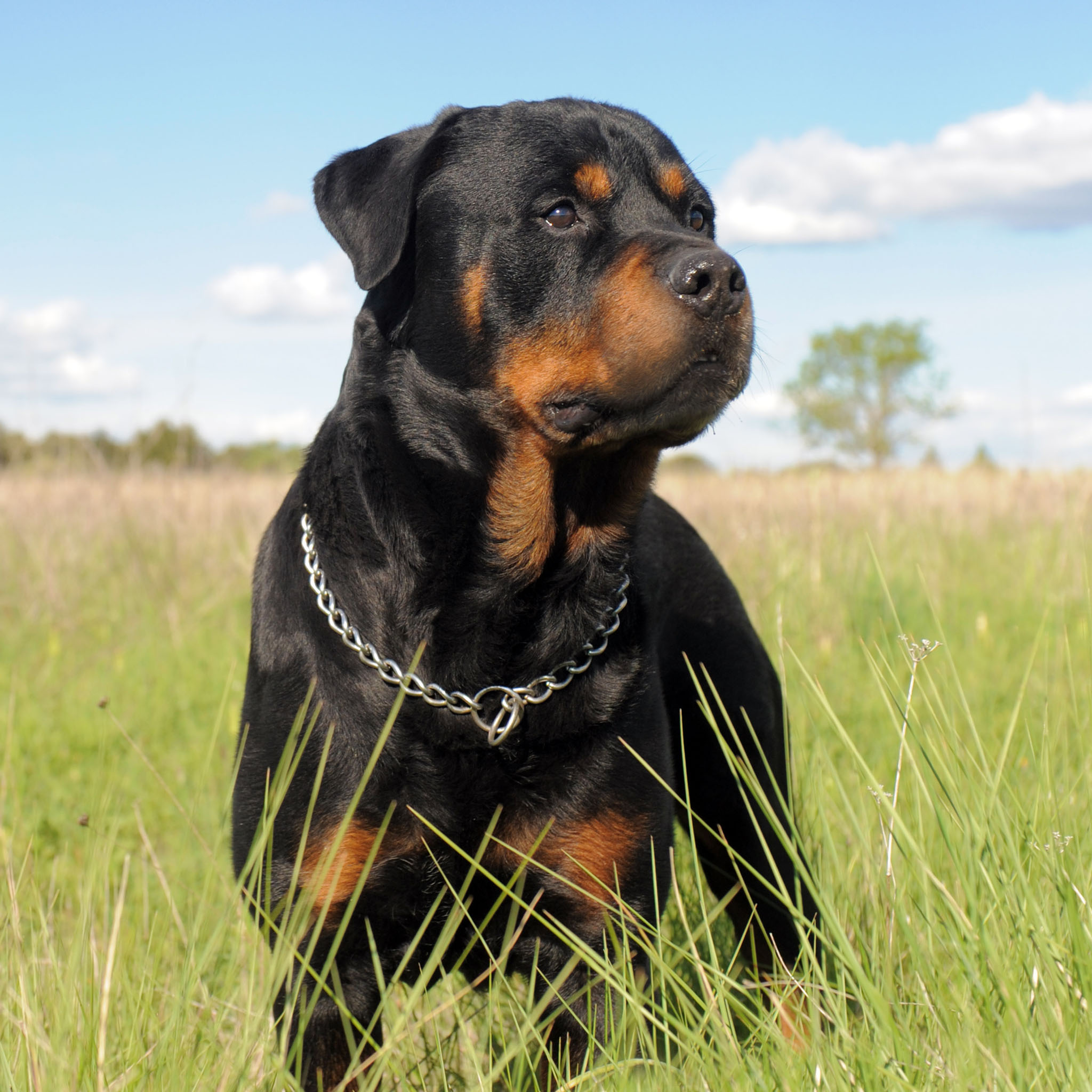 Most intelligent Dog breed - Rottweiler