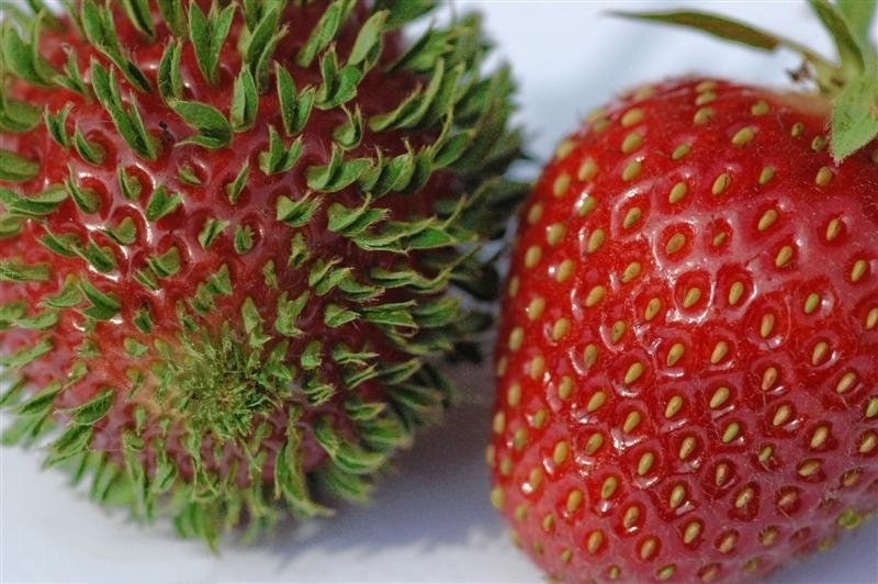 Funny fruits - Sprouting Strawberry